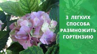 3 легких способа размножить гортензию. Черенкование гортензии
