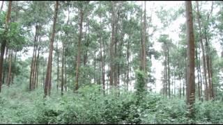 Benih Unggulan Jenis Akasia dan Ekaliptus Generasi Pertama (F1) dan Generasi Kedua (F2) YouTube Videos