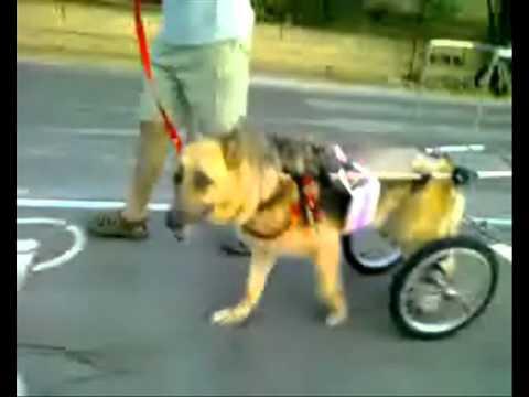 Silla de ruedas para perros discapacitados youtube for Sillas para perros