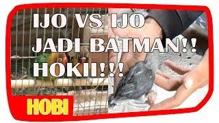 Ternak Lovebird Pemula (indukan josan,kok anaknya betmen) - Sindry BF Majenang II Video Amatir #1