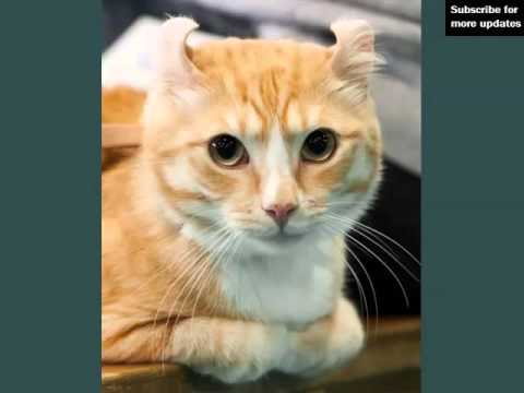 American Curl | Collection Of Cat Breed Pictures