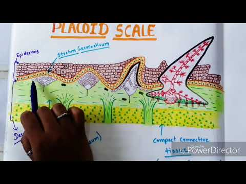 Placoid Scale And It's Devlopement In //#Scoliodon