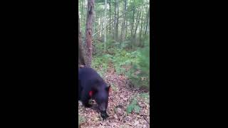 Hiker Encounters Two Curious Black Bears (Storyful, Animals)
