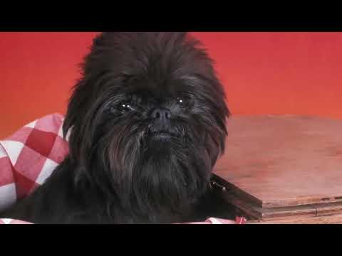 Adorable Affenpinscher's Toy Dog Breeds | PuppySimply