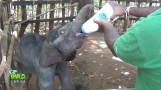 Baby elephant milk feeding !
