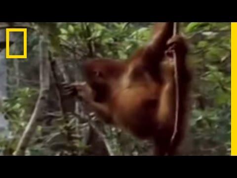 Primates of Indonesia | National Geographic
