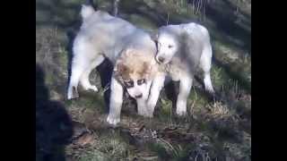 Крым щенки Алобаи выращенные в горах