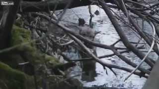 Скачать Спасение волка из холодной реки