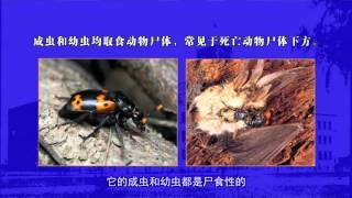 第8讲 鞘翅目昆虫分类(一)