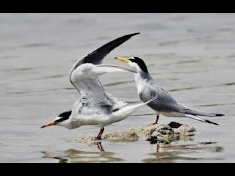 Little tern - (Sterna albifrons) -  Νανογλάρονο - Cyprus