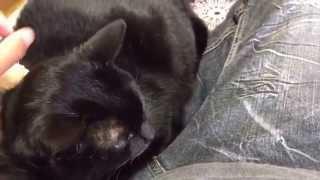 黒猫のジジちゃんが僕を独占してますねw ミケのももちゃんがかわいそうw.