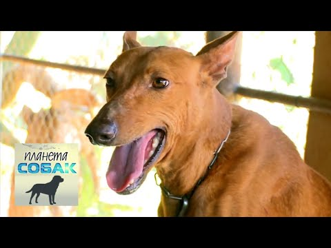 Поденко канарио. Планета собак 🌏 Моя Планета