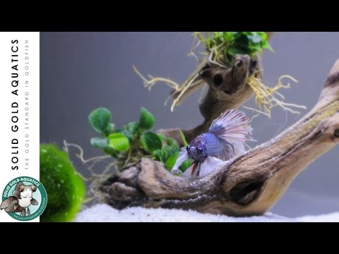 Solid gold has a betta unboxing adding plants to my for Solid gold fish