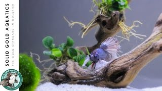 solid gold has a betta unboxing adding plants to my betta tank