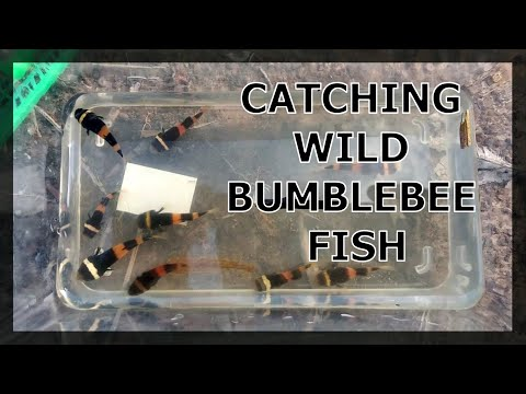 CATCHING WILD BUMBLEBEE FISH (BORNEO GOBIES)