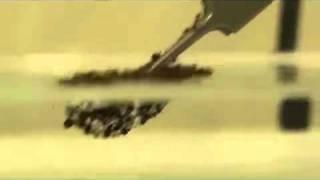 Муравьи дружно держаться на воде