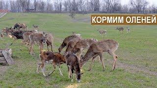 ДИЧЕПИТОМНИК ООО ПРИРОДА. Кормление животных.