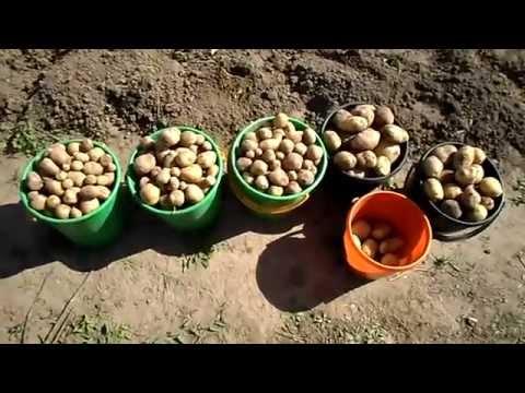 Картофель из семян Второй сезон. Ассоль, Милена, Триумф, Реванш, Фермер.