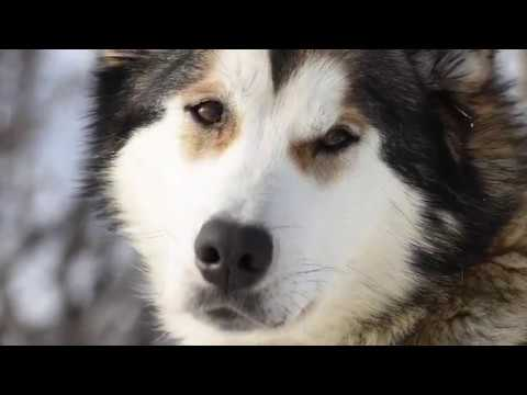 Sled dogs and rangers protect Denali wilderness