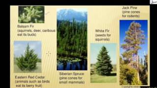 Coniferous Alpine and Boreal Forests