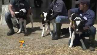 Triplet Calves
