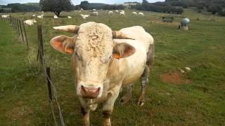 Face à face avec un taureau gr5 Lorraine en 2012