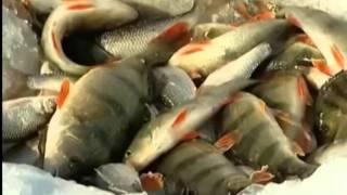 Зимняя рыбалка на окуня  Байкал