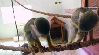 Саймири - шкодные обезьянки