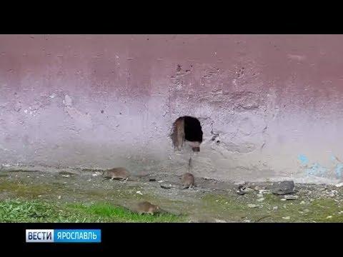 Жителей Заволжского района Ярославля атакуют крысы