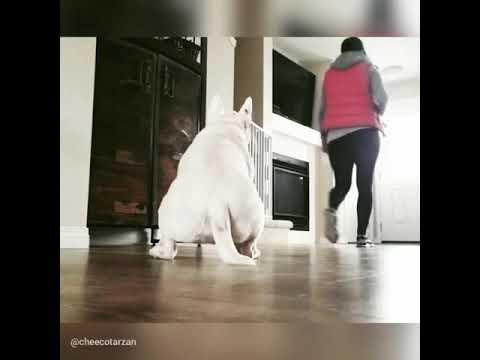 Training a bullterrier