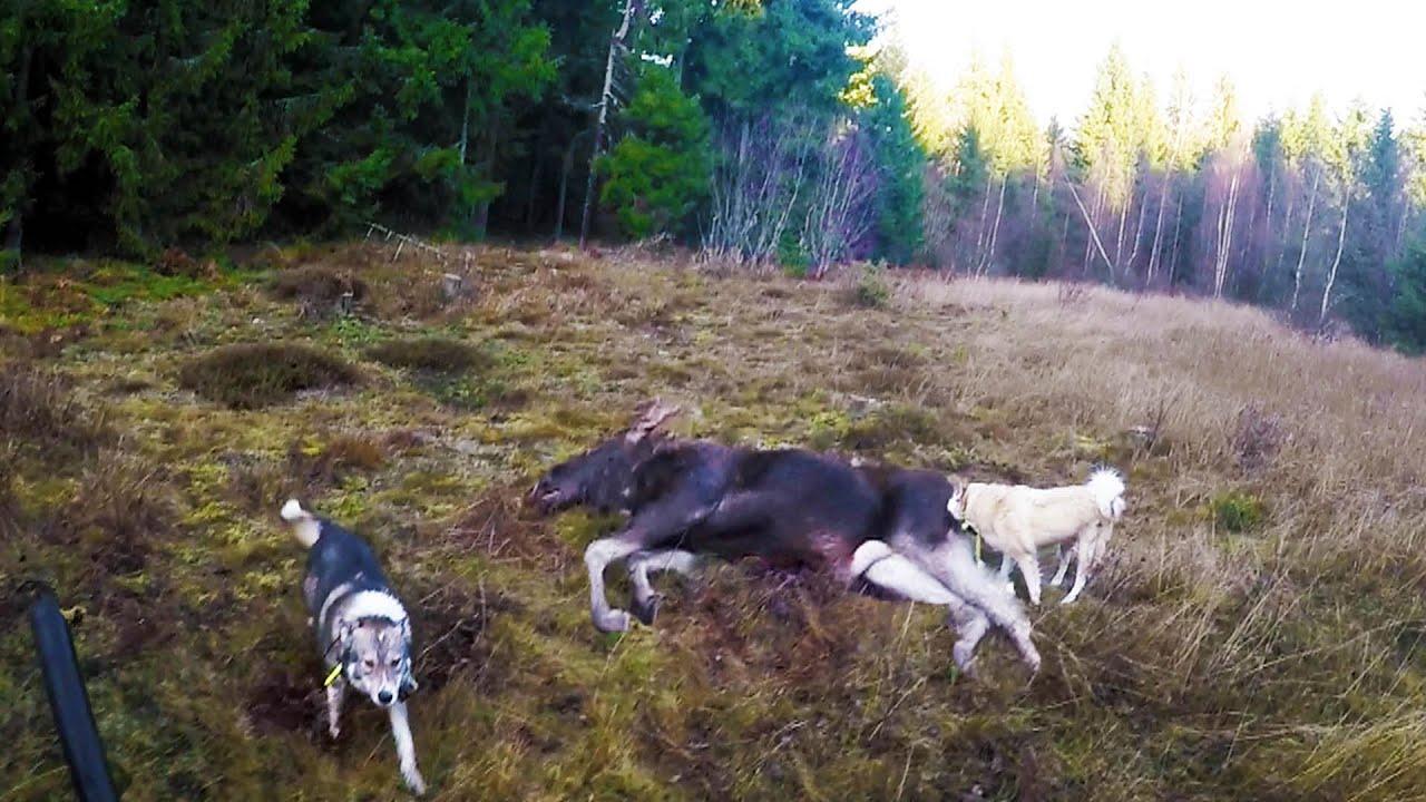 Охота #56 большая охота на лося, работа собак, 4 коллектива часть 2