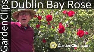 Dublin Bay Rose - Rosa Dublin Bay - How to grow Dublin Bay Rose