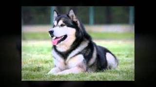 How To Train Alaskan Malamute Puppies