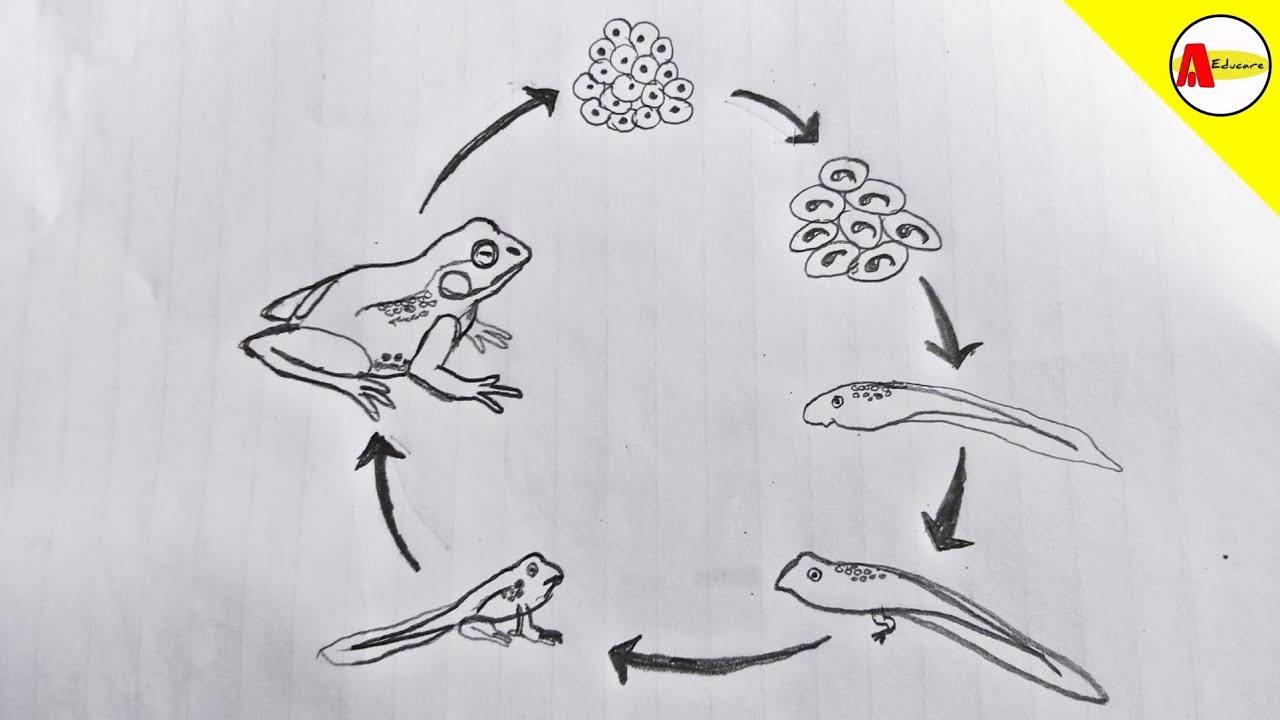 How To Draw Life Cycle Of A Frog Diagram Youtube Naturally, the thin lead is fragile so it also subtly teaches you about pencil pressure. how to draw life cycle of a frog diagram