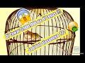 Masteran Pleci Males Bunyi Langsung Nyaut Hitungan Detik Denger Pleci Juara Nembak Yang  Ini  Mp3 - Mp4 Download