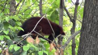 Sathyamangalam Wildlife Sanctuary Videos - Indian Giant Squirrrel