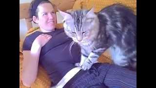 Большая кошка породы мейн-кун - rukot.com