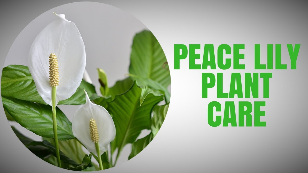 Peace lily plant care youtube peace lily plant care izmirmasajfo