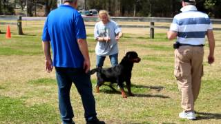 Airk Jacksonville Show - Rottweiler Male Critque