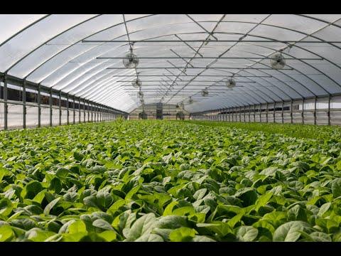 La raccolta del Tabacco - La fattoria di Mielisa