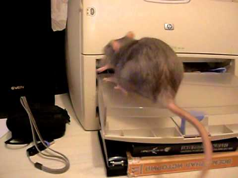 Крыса- мама собирает