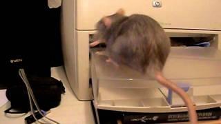 Крыса- мама собирает детей.AVI