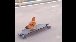 Chicken on a skateboard