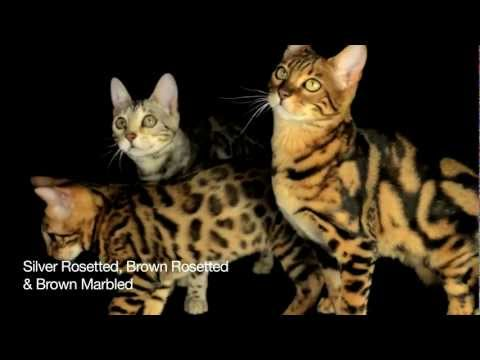 Introduction To Bengal Cats Part 1: Colours and Markings