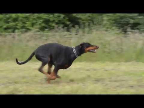 Doberman doing stay and run
