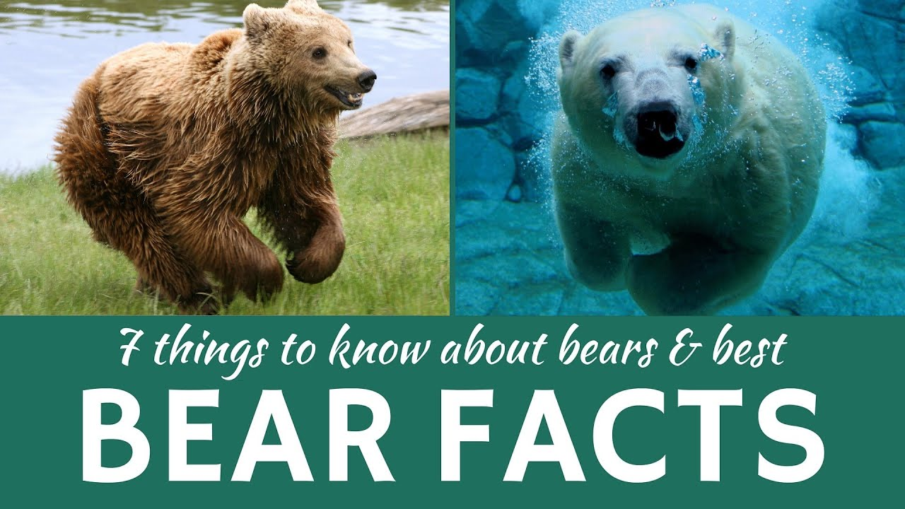 Bears: 7 Facts about Wild Predators (Grizzly, Brown and ... - photo#10