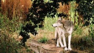 Sons de Animais - Grilos e lobos distantes