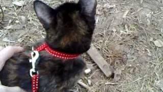 приучаем кошку к шлейке и свежему воздуху. cat in harness  the first time walking