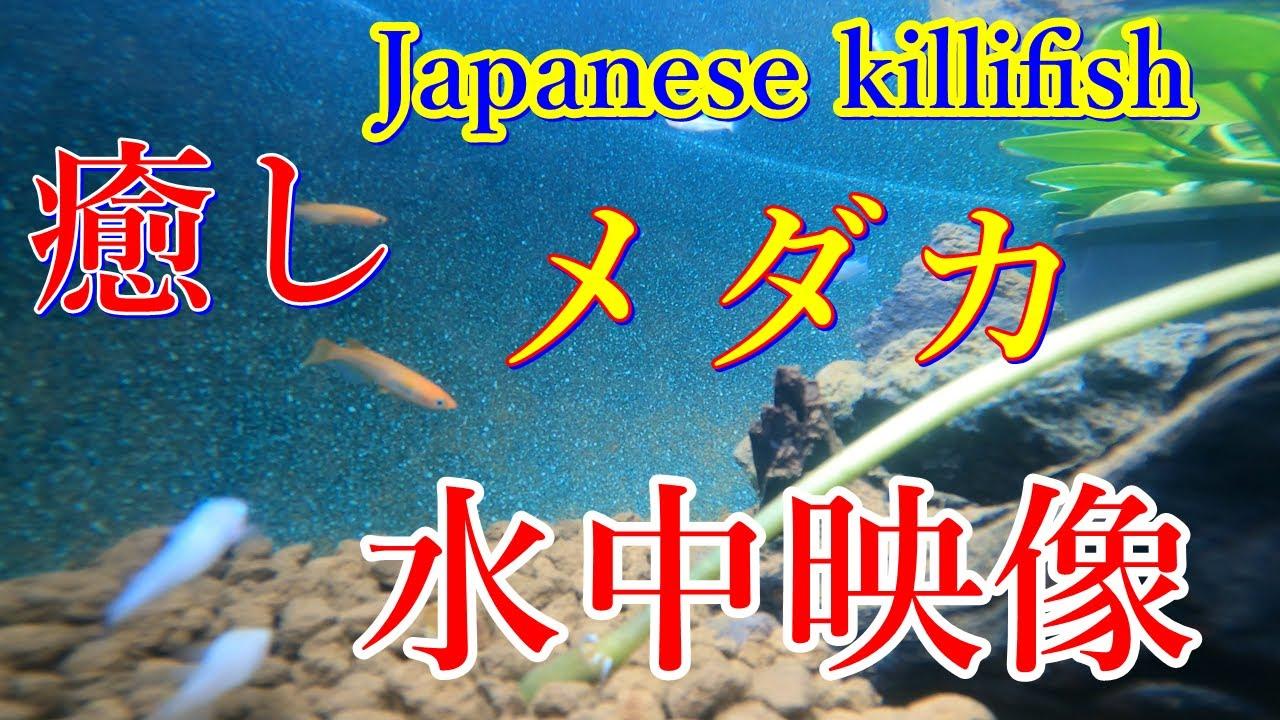 癒し メダカ 水中映像 ヒーリング Japanese killifish