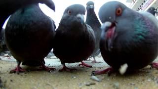 Eken H9R 1080p кормление голубей и кошек